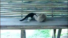 میمونه گربه رو گیجش کرده