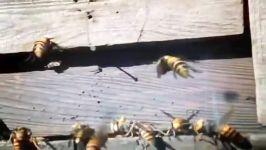 قتل عام زنبورهای عسل توسط ۳۰ زنبور هورنت