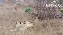شیر شاه هیتنا را بر روی درخت نابود می کند تا شیر شیر را حفظ کند  قدرت شیر شاه