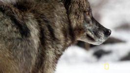 همراه شویم شکار گرگ سیاه  تصاویر نادری گرگ سیاه