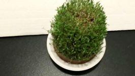 ویژه عید نوروز  آموزش درست کردن سبزه شاهی روی کوزه برای سفره هفت سین