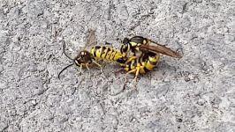 جفت گیری زنبور درخواست ادامه جفت گیری توسط مورچه
