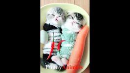 بچه گربه های ناز قلب شما را ذوب می کنند  بچه گربه ها باعث می شود شما