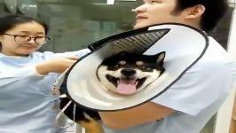 وقتی میگن آمپول درد نداره این سگ میزان درد آمپول را نزده صدا در می آورد
