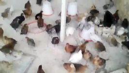 نیمچه محلی #جوجه محلی#جوجه دورگه#اموزش مرغ محلی#تخممرغ #درشیراز #