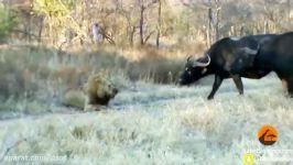 بوفالوها مانع کشته شدن یک شیر توسط سه شیر دیگر شدند  بوفالو شیر مقابل سه شیر