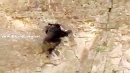 خرس توله اش جاذبه زمین را زیر سوال بردن مهارت این خرس مادر توله اش برای با
