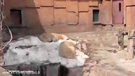 جفت گیری خرس قطبی جفت گیری حیوانات