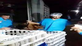 تزریق واکسن گله مرغ بومی تخمگذار هنگام ارسالواکسن ۳گانه نیوکاسل آنفولانزا eds