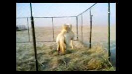 حیوان عجیب در ایران نصف شتر نصف اسب