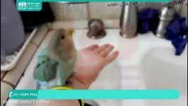 آموزش تربیت طوطی  تربیت طوطی برزیلی  تربیت طوطی ملنگو روش حمام کردن طوطی