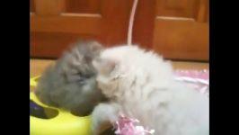 بچه گربه های خوردنی