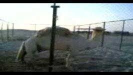 حیوان عجیب در ایراننصف شتر نصف اسب