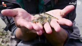 تجربه رویارویی ماهی های دوزیست شُش دار