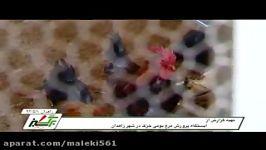 پرورش مرغ بومی در زاهدان Indigenous poultry farming in Zahedan تربیة الدواجن الأصلیة فی زاهدان