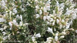 گیاه زرین گیاه کلکسیون گیاهان دارویی شرکت زرین گیاه