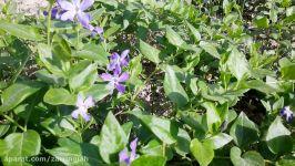 گیاه پیچ تلگرافی کلکسیون گیاه دارویی شرکت زرین گیاه