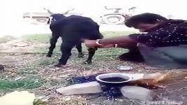 دوشیدن شیر بز