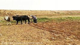 آماده سازی مزرعه جدید زعفران توسط حجی سِی، کشاورز کشمون