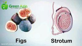 شباهت بین میوه ها اعضای بدن اتفاقی نیست
