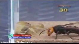 جدال خفن عقرب خطرناک ترین زنبور جهان هورنت غول پیکر