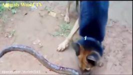 حمله انتحاری حیوانات # 6  سگ حمله مار  حیوانات شگفت ا