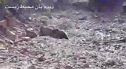 زنده گیری رهاسازی خرس قهوه ای گرفتار در تله در آمل