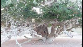 تمر هندی انواع نخیل انواع کنار انواع درختان